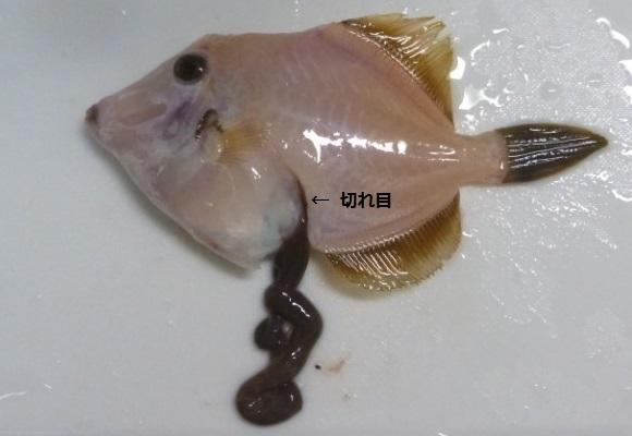 「 チヌ ( 黒鯛 ) 釣り入門 」 0593