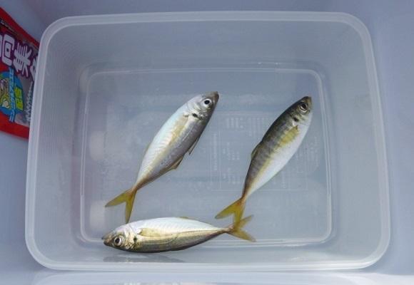 「 チヌ ( 黒鯛 ) 釣り入門 」 0615