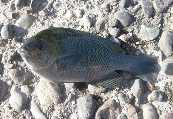 「 チヌ ( 黒鯛 ) 釣り入門 」 0618