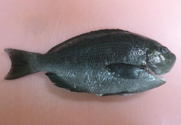 「 チヌ ( 黒鯛 ) 釣り入門 」 0653