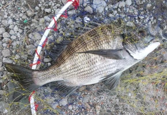 「 チヌ ( 黒鯛 ) 釣り入門 」 0675