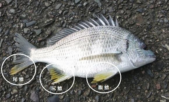 「 チヌ ( 黒鯛 ) 釣り入門 」 0677