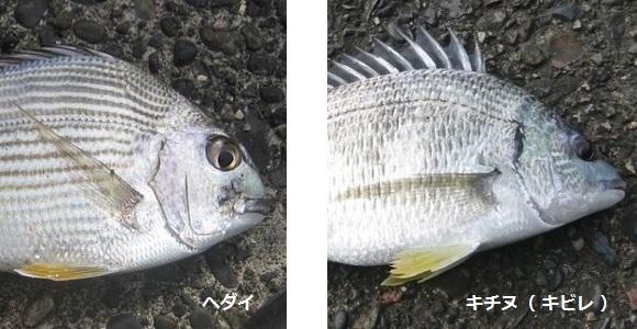 「 チヌ ( 黒鯛 ) 釣り入門 」 0681