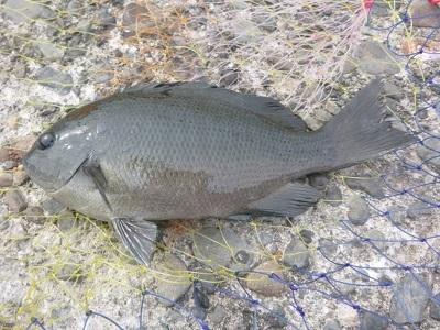 「 チヌ ( 黒鯛 ) 釣り入門 」 0715