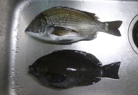 「 チヌ ( 黒鯛 ) 釣り入門 」 0778