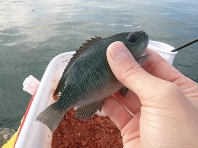 「 チヌ ( 黒鯛 ) 釣り入門 」 0848