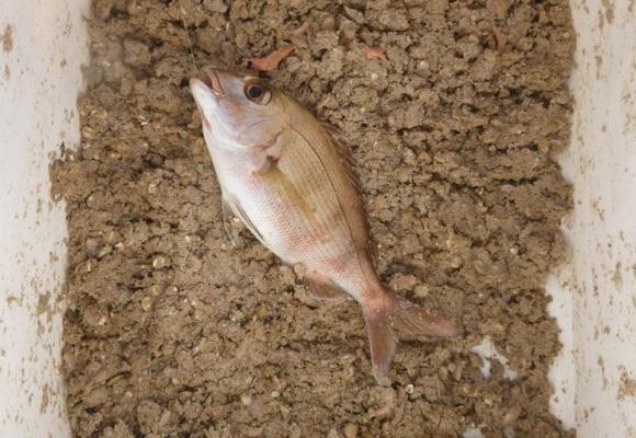 「 チヌ ( 黒鯛 ) 釣り入門 」 0940