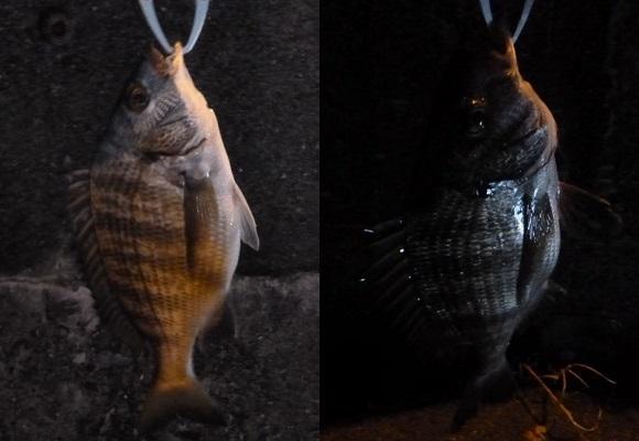 「 チヌ ( 黒鯛 ) 釣り入門 」 0945