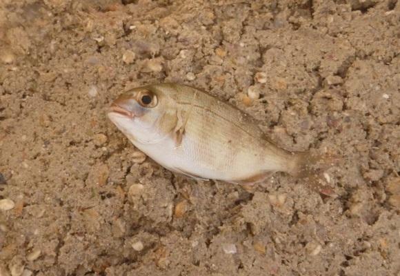 「 チヌ ( 黒鯛 ) 釣り入門 」 0950