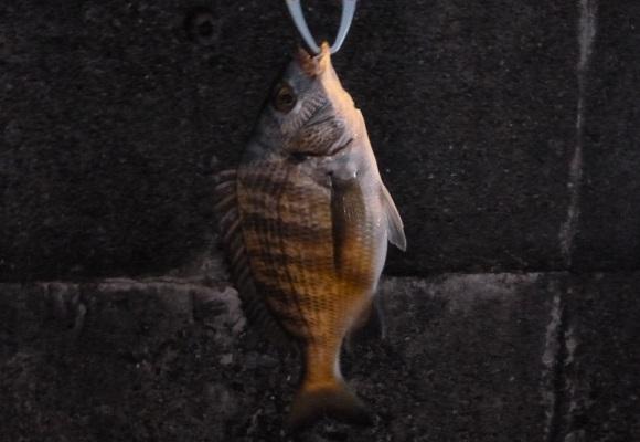 「 チヌ ( 黒鯛 ) 釣り入門 」 0954