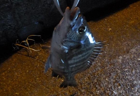「 チヌ ( 黒鯛 ) 釣り入門 」 0959
