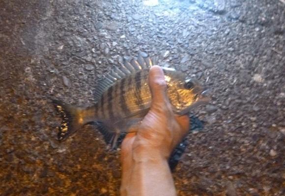 「 チヌ ( 黒鯛 ) 釣り入門 」 0960