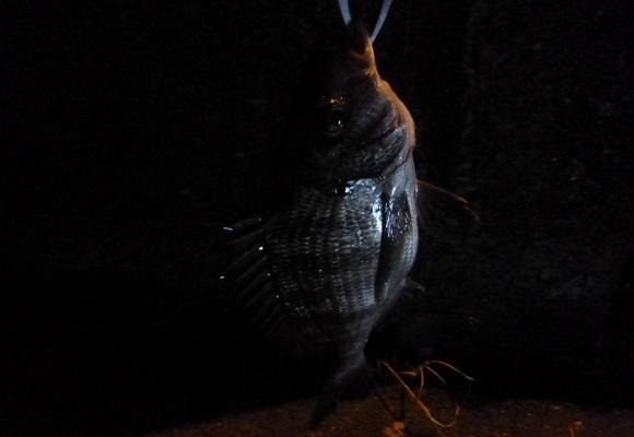 「 チヌ ( 黒鯛 ) 釣り入門 」 0961