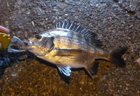 「 チヌ ( 黒鯛 ) 釣り入門 」 0963