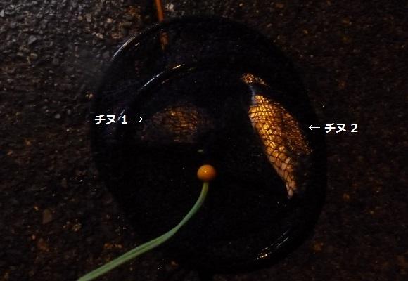 「 チヌ ( 黒鯛 ) 釣り入門 」 1011