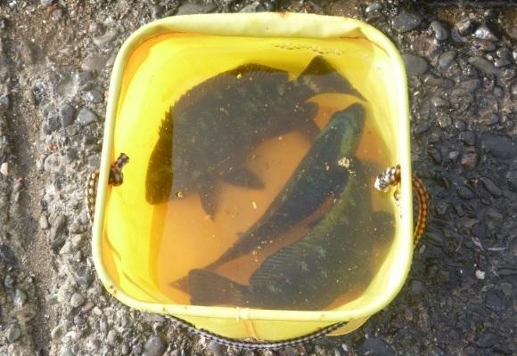 「 チヌ ( 黒鯛 ) 釣り入門 」 1052