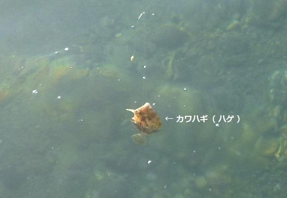 「 チヌ ( 黒鯛 ) 釣り入門 」 1060