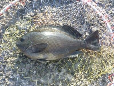 「 チヌ ( 黒鯛 ) 釣り入門 」 1127