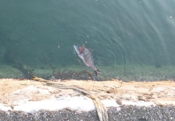 「 チヌ ( 黒鯛 ) 釣り入門 」 1218