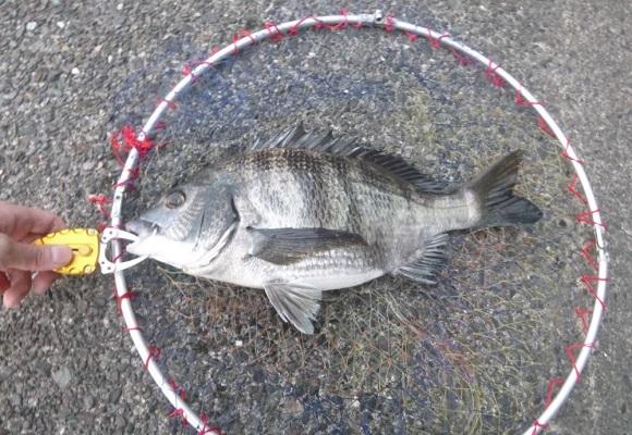 「 チヌ ( 黒鯛 ) 釣り入門 」 1301