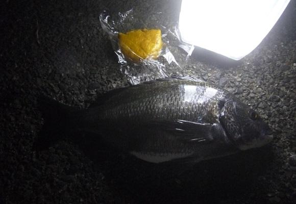 「 チヌ ( 黒鯛 ) 釣り入門 」 1327