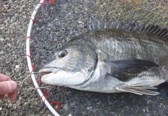 「 チヌ ( 黒鯛 ) 釣り入門 」 1412
