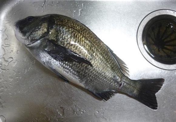 「 チヌ ( 黒鯛 ) 釣り入門 」 1430