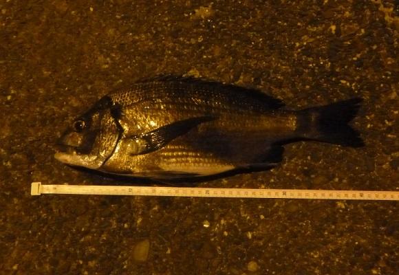 「 チヌ ( 黒鯛 ) 釣り入門 」 1729