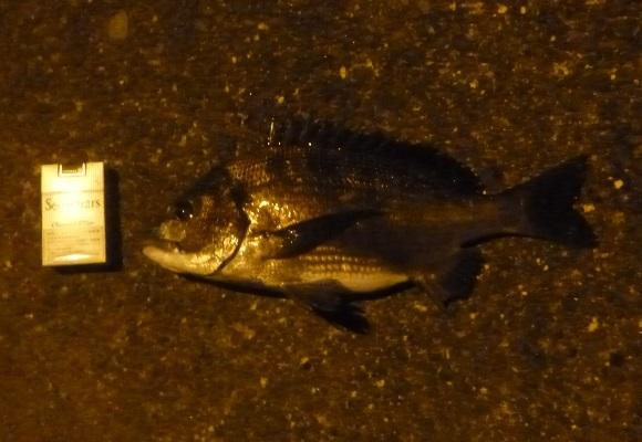 「 チヌ ( 黒鯛 ) 釣り入門 」 1792