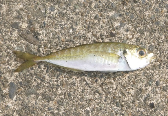 「 チヌ ( 黒鯛 ) 釣り入門 」 1829