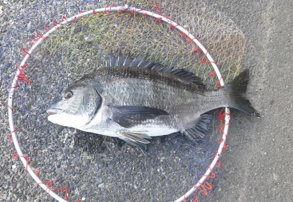 「 チヌ( 黒鯛 )釣り入門 」 1436