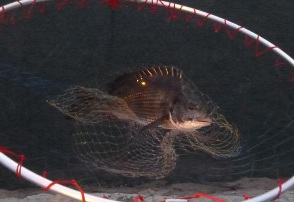 「 チヌ( 黒鯛 )釣り入門 」 1480