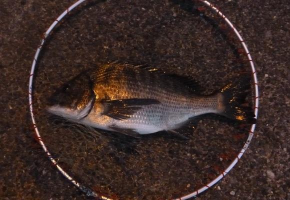 「 チヌ( 黒鯛 )釣り入門 」 1482