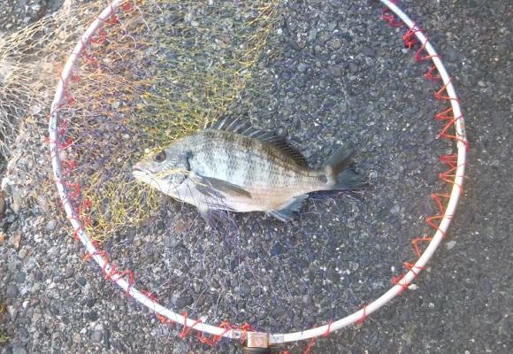「 チヌ( 黒鯛 )釣り入門 」 1500