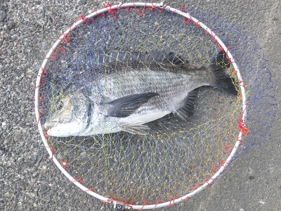 「 チヌ( 黒鯛 )釣り入門 」 1508