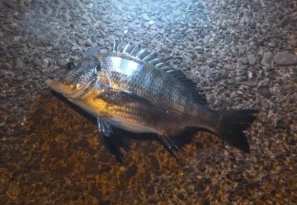 「 チヌ( 黒鯛 )釣り入門 」 1523