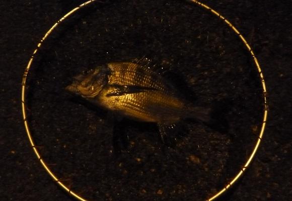 「 チヌ( 黒鯛 )釣り入門 」 1561