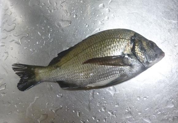「 チヌ( 黒鯛 )釣り入門 」 1564