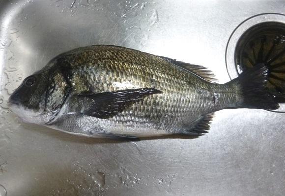 「 チヌ( 黒鯛 )釣り入門 」 1631