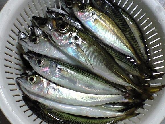 「 チヌ ( 黒鯛 ) 釣り入門 」 0071