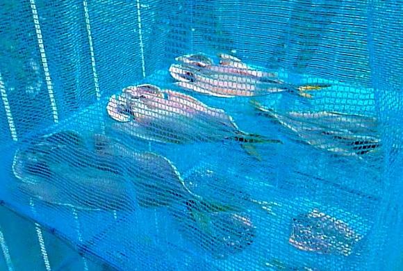 「 チヌ ( 黒鯛 ) 釣り入門 」 0090