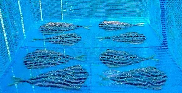 「 チヌ ( 黒鯛 ) 釣り入門 」 0095