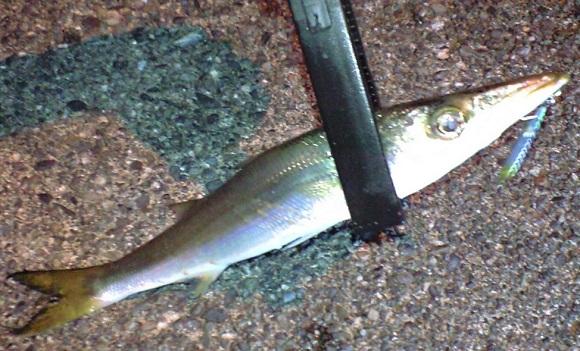 「 チヌ ( 黒鯛 ) 釣り入門 」 0151