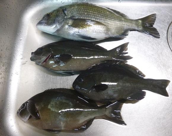 「 チヌ ( 黒鯛 ) 釣り入門 」 0202