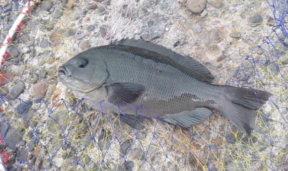 「 チヌ ( 黒鯛 ) 釣り入門 」 0271