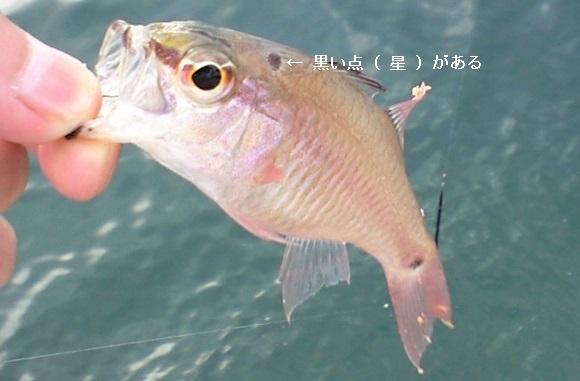 「 チヌ ( 黒鯛 ) 釣り入門 」 0278
