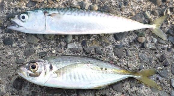 「 チヌ ( 黒鯛 ) 釣り入門 」 0282