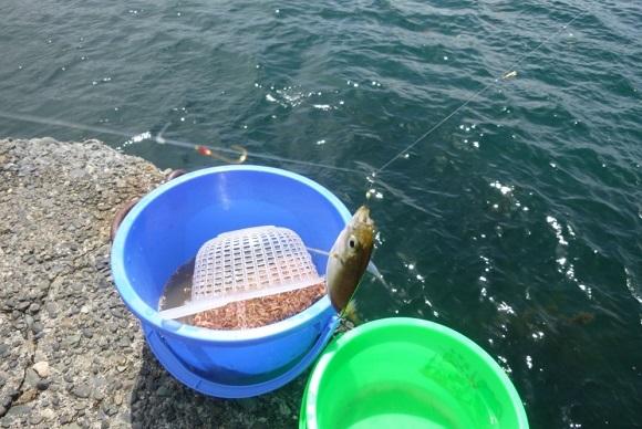 「 チヌ ( 黒鯛 ) 釣り入門 」 0361