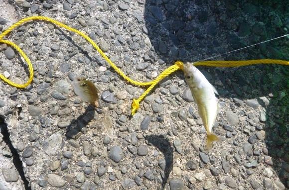 「 チヌ ( 黒鯛 ) 釣り入門 」 0362