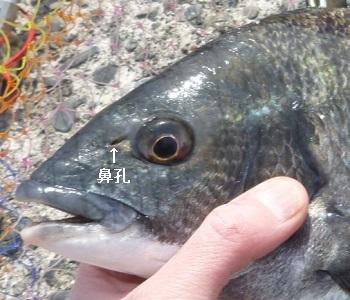 「 チヌ ( 黒鯛 ) 釣り入門 」 0412